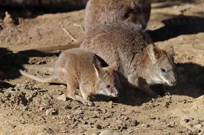 1月の多摩~パルマワラビーの赤ちゃんと爆睡タスマニアデビル_b0355317_12432025.jpg