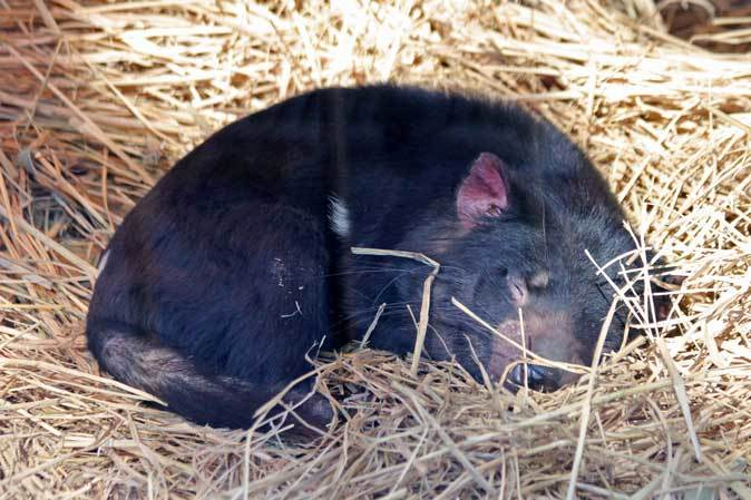 1月の多摩~パルマワラビーの赤ちゃんと爆睡タスマニアデビル_b0355317_12501671.jpg