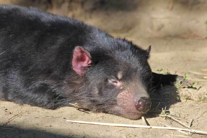 1月の多摩~パルマワラビーの赤ちゃんと爆睡タスマニアデビル_b0355317_12544978.jpg