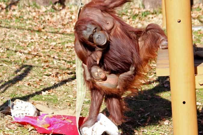 1月の多摩~ボルネオランウータンの赤ちゃん「ロキ」と冬の動物たち_b0355317_20132853.jpg