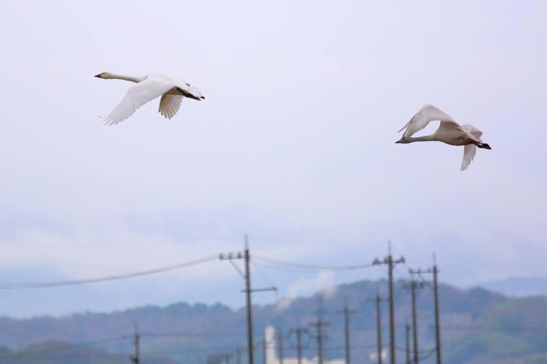 白鳥12/26その2_e0403850_19245251.jpg