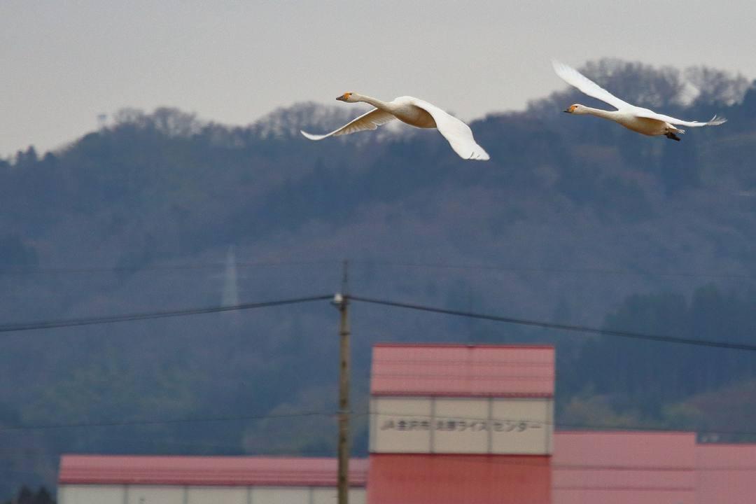 白鳥12/26その2_e0403850_19365639.jpg