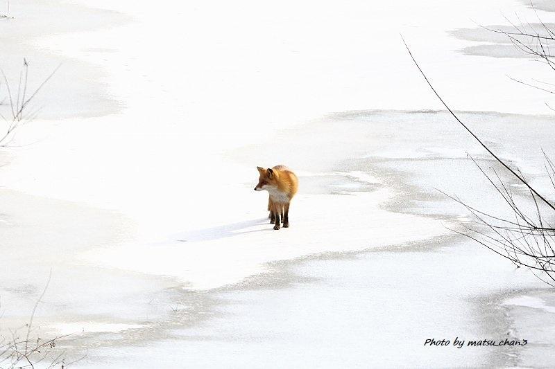キタキツネ Ezo Red fox_c0070654_20393616.jpg