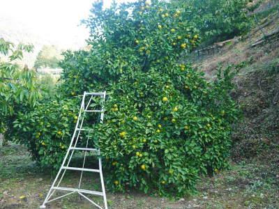 種なしかぼす(無農薬栽培) 令和元年度の種なしかぼすはカウントダウン開始!早い者勝ちです!_a0254656_13430303.jpg