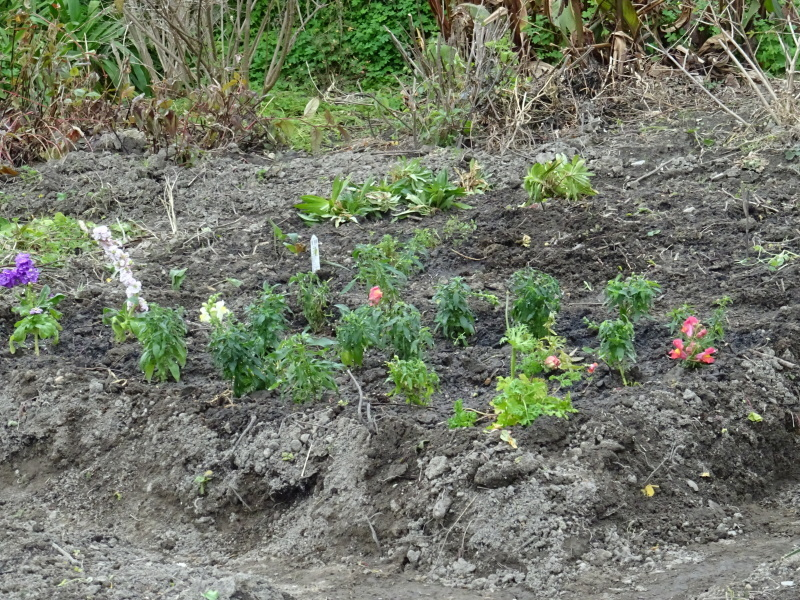 我が家の花壇に 花苗を植え付け_c0108460_17520035.jpg