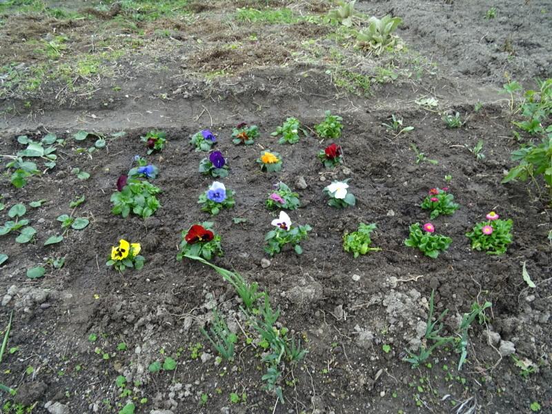 我が家の花壇に 花苗を植え付け_c0108460_17520092.jpg