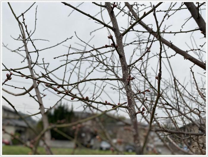 久しぶりにさくらと歩いた師走の土手、梅の蕾が膨らんでいたり、水仙が咲き始めていたり、小さな春もね~_b0175688_19433976.jpg