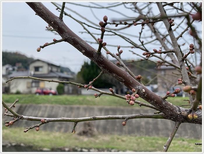 久しぶりにさくらと歩いた師走の土手、梅の蕾が膨らんでいたり、水仙が咲き始めていたり、小さな春もね~_b0175688_19440401.jpg