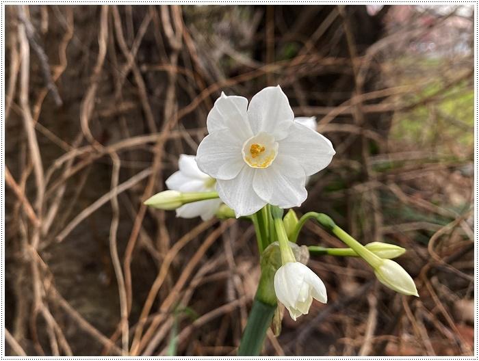 久しぶりにさくらと歩いた師走の土手、梅の蕾が膨らんでいたり、水仙が咲き始めていたり、小さな春もね~_b0175688_19505660.jpg