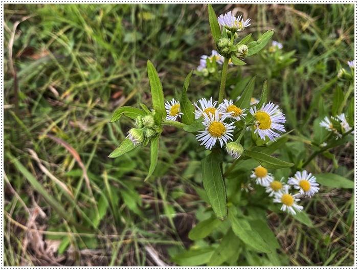 久しぶりにさくらと歩いた師走の土手、梅の蕾が膨らんでいたり、水仙が咲き始めていたり、小さな春もね~_b0175688_19505955.jpg