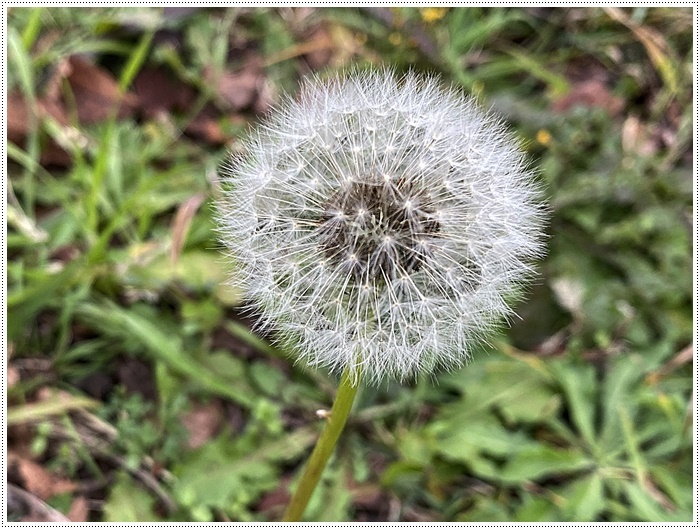 久しぶりにさくらと歩いた師走の土手、梅の蕾が膨らんでいたり、水仙が咲き始めていたり、小さな春もね~_b0175688_19510206.jpg