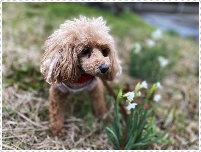 久しぶりにさくらと歩いた師走の土手、梅の蕾が膨らんでいたり、水仙が咲き始めていたり、小さな春もね~_b0175688_19512362.jpg