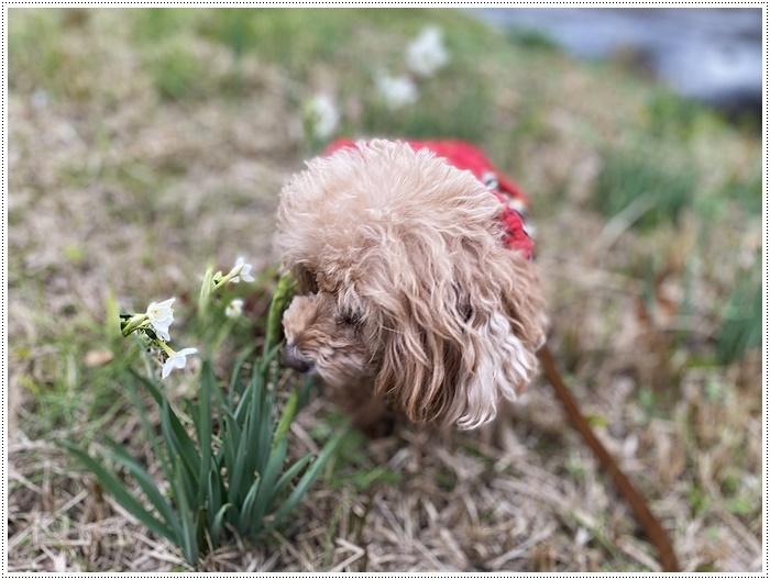 久しぶりにさくらと歩いた師走の土手、梅の蕾が膨らんでいたり、水仙が咲き始めていたり、小さな春もね~_b0175688_19512898.jpg