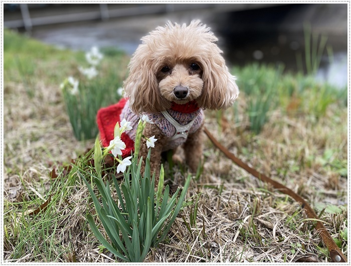 久しぶりにさくらと歩いた師走の土手、梅の蕾が膨らんでいたり、水仙が咲き始めていたり、小さな春もね~_b0175688_19514852.jpg