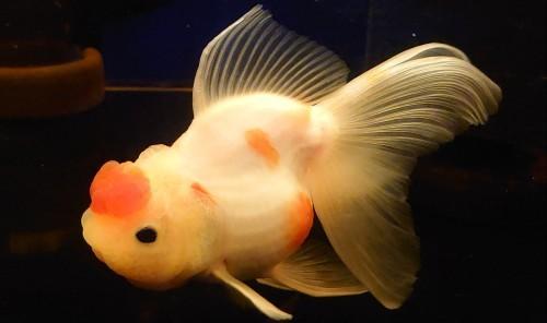 在籍魚の記録 : 志村産・桜東錦。_b0298605_15324151.jpg