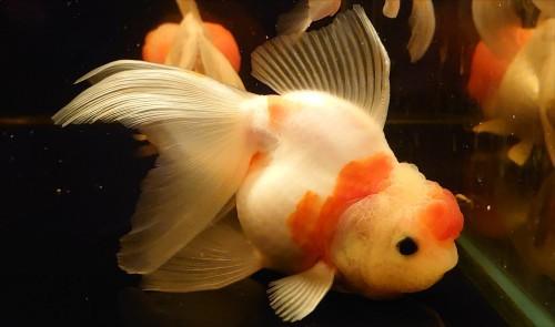 在籍魚の記録 : 志村産・桜東錦。_b0298605_15324936.jpg