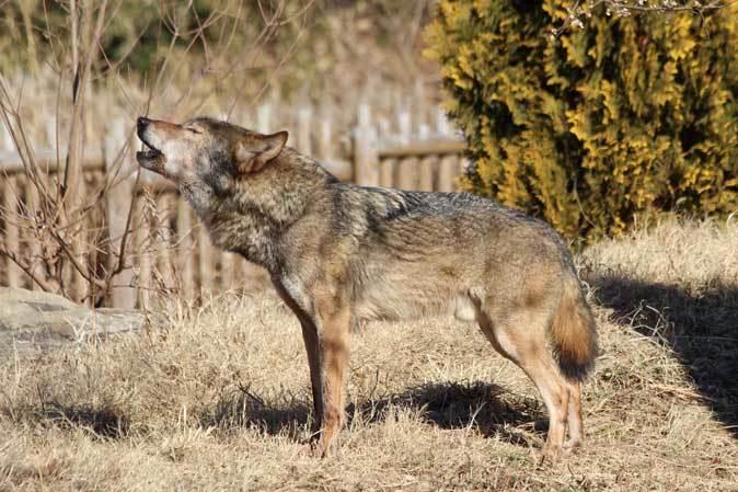 1月の多摩~オオカミたちの遠吠えと走るモウコノウマ_b0355317_11552914.jpg