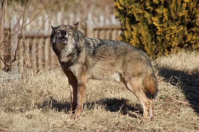 1月の多摩~オオカミたちの遠吠えと走るモウコノウマ_b0355317_11564373.jpg