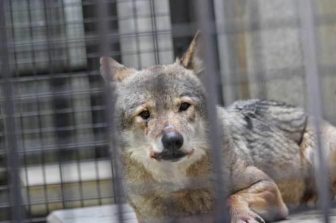 1月の多摩~オオカミたちの遠吠えと走るモウコノウマ_b0355317_11574266.jpg