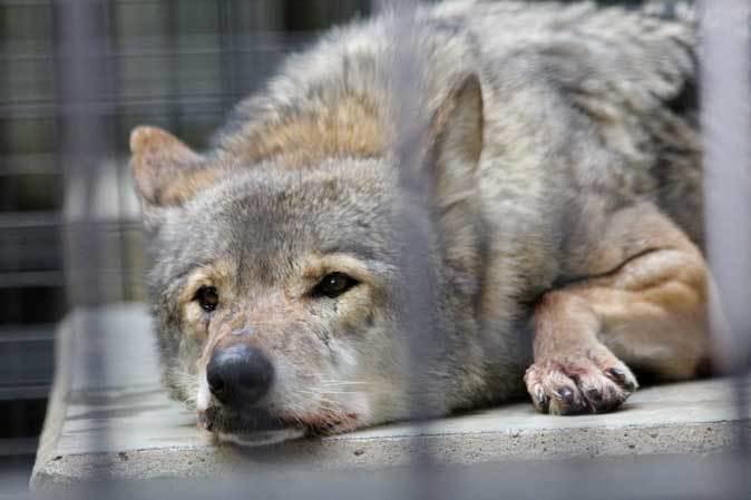 1月の多摩~オオカミたちの遠吠えと走るモウコノウマ_b0355317_11592021.jpg