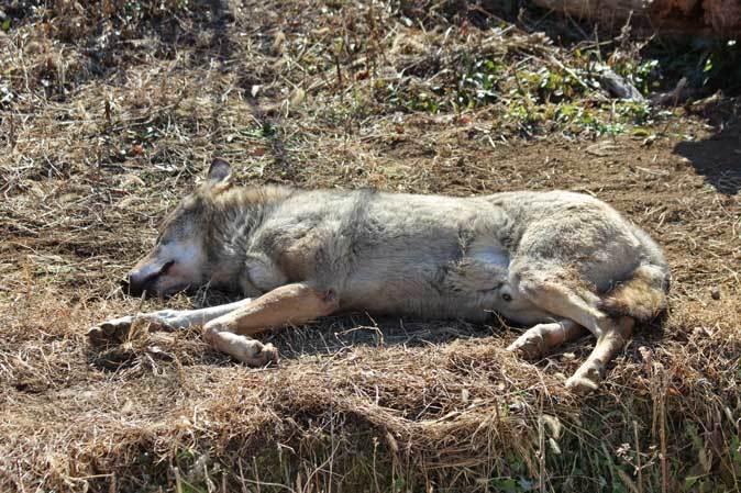 1月の多摩~オオカミたちの遠吠えと走るモウコノウマ_b0355317_11595025.jpg