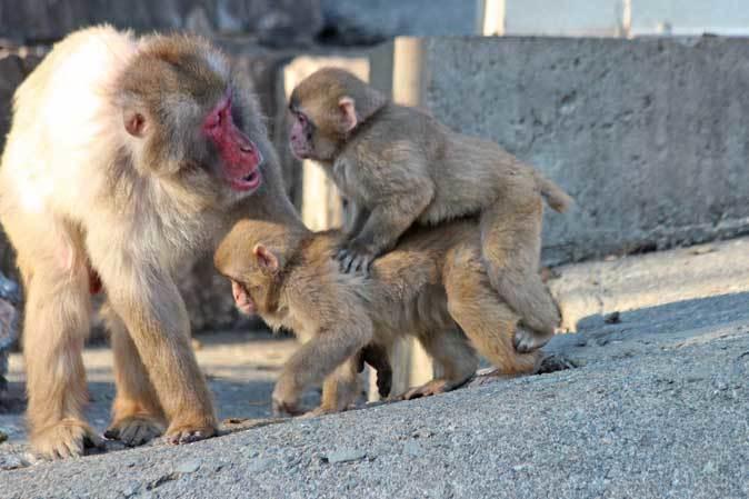 1月の多摩~ニホンザルの子供たち「禁じられた遊び」_b0355317_22033454.jpg