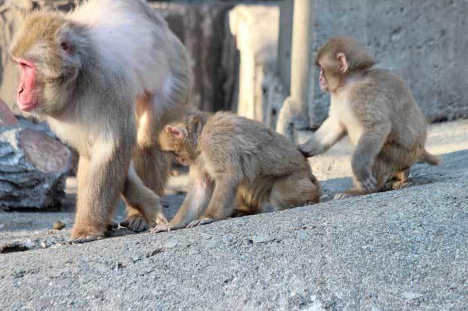 1月の多摩~ニホンザルの子供たち「禁じられた遊び」_b0355317_22055252.jpg