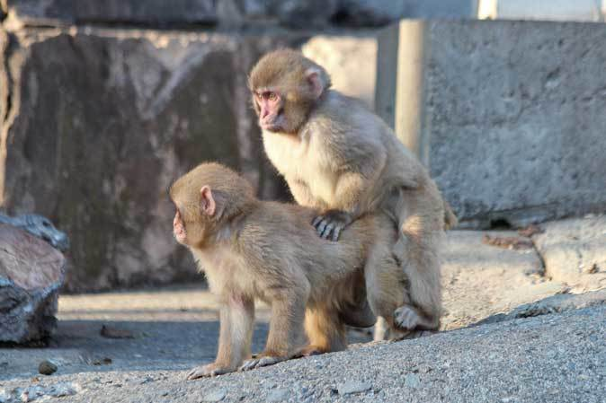 1月の多摩~ニホンザルの子供たち「禁じられた遊び」_b0355317_22062320.jpg