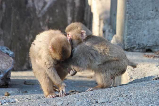 1月の多摩~ニホンザルの子供たち「禁じられた遊び」_b0355317_22065880.jpg