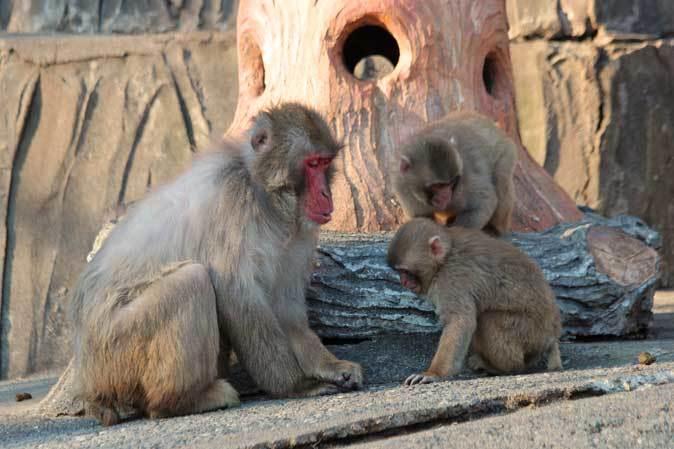 1月の多摩~ニホンザルの子供たち「禁じられた遊び」_b0355317_22083525.jpg
