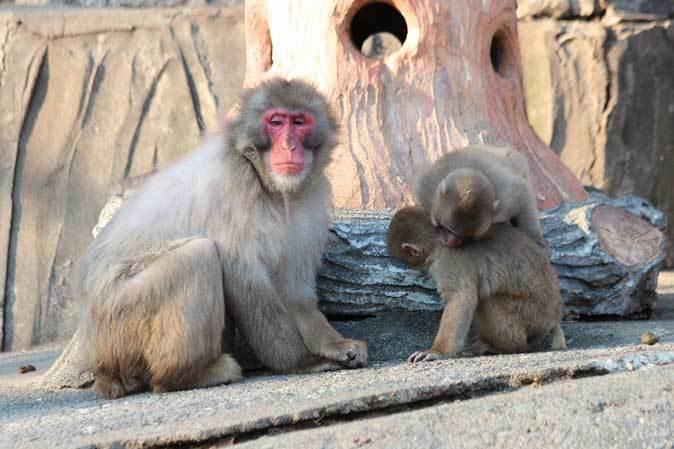 1月の多摩~ニホンザルの子供たち「禁じられた遊び」_b0355317_22294354.jpg