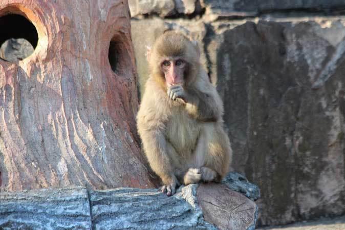 1月の多摩~ニホンザルの子供たち「禁じられた遊び」_b0355317_22300927.jpg