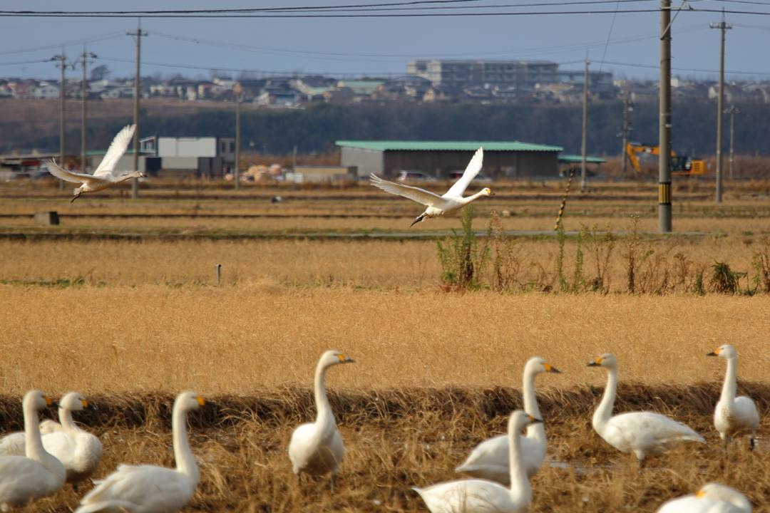 白鳥12/28_e0403850_20121456.jpg