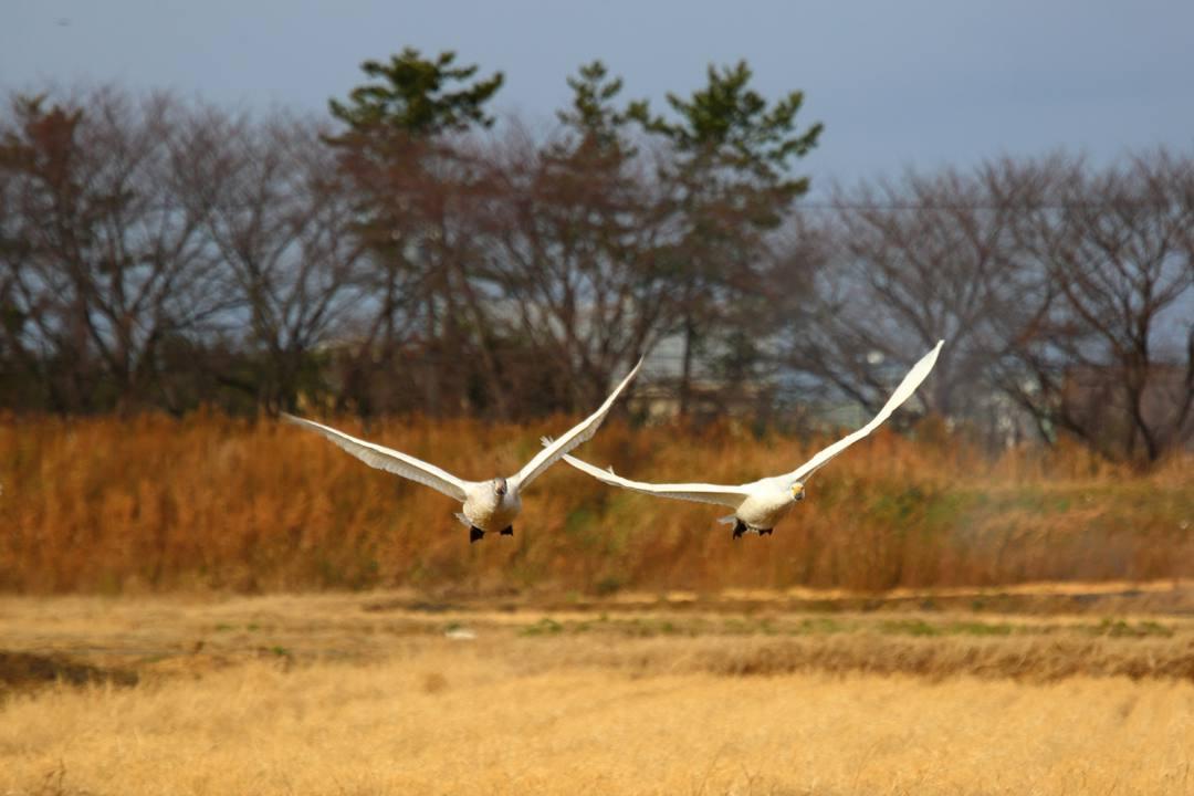 白鳥12/28_e0403850_20121477.jpg