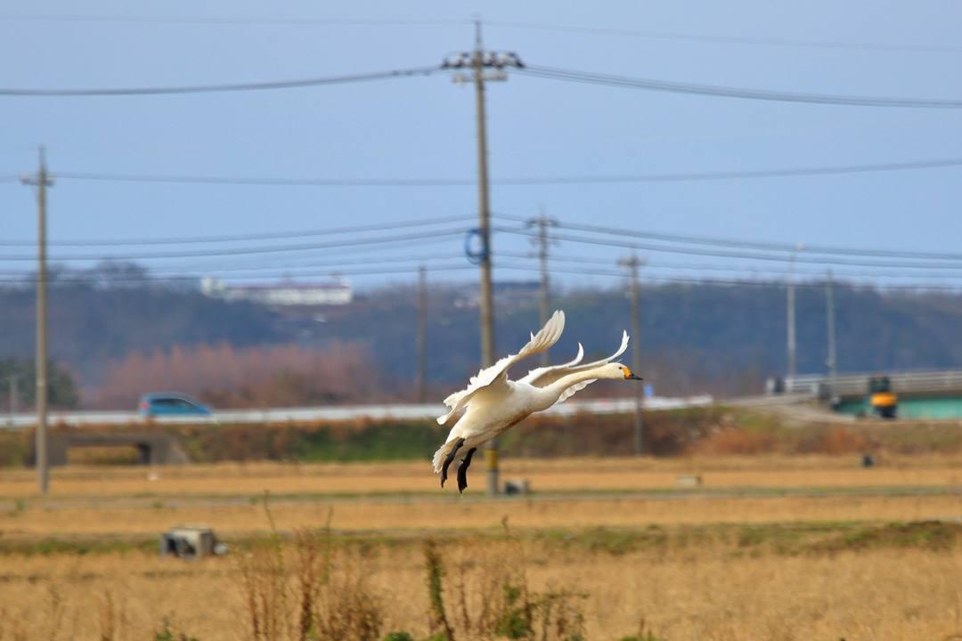 白鳥12/28_e0403850_20122401.jpg