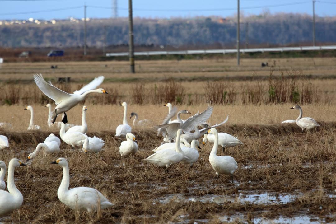 白鳥12/28_e0403850_20122484.jpg