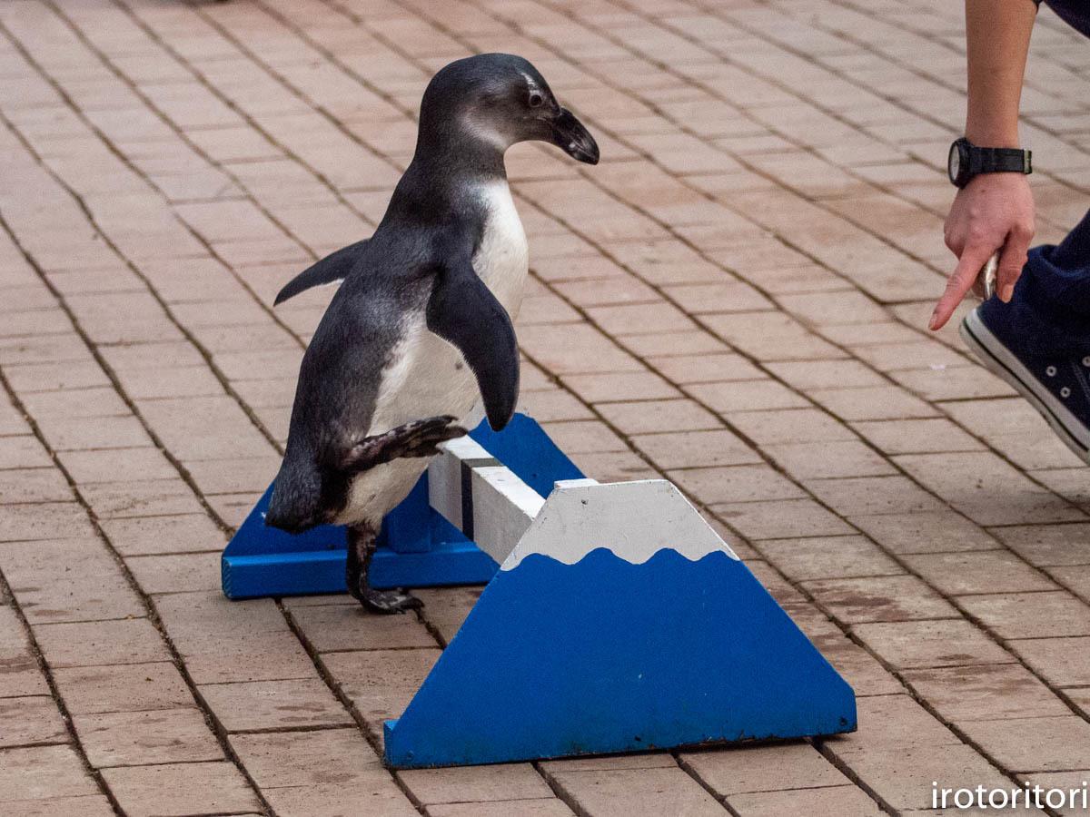 跳びます!!  (ケープペンギン)  2019/12/29_d0146592_00214908.jpg