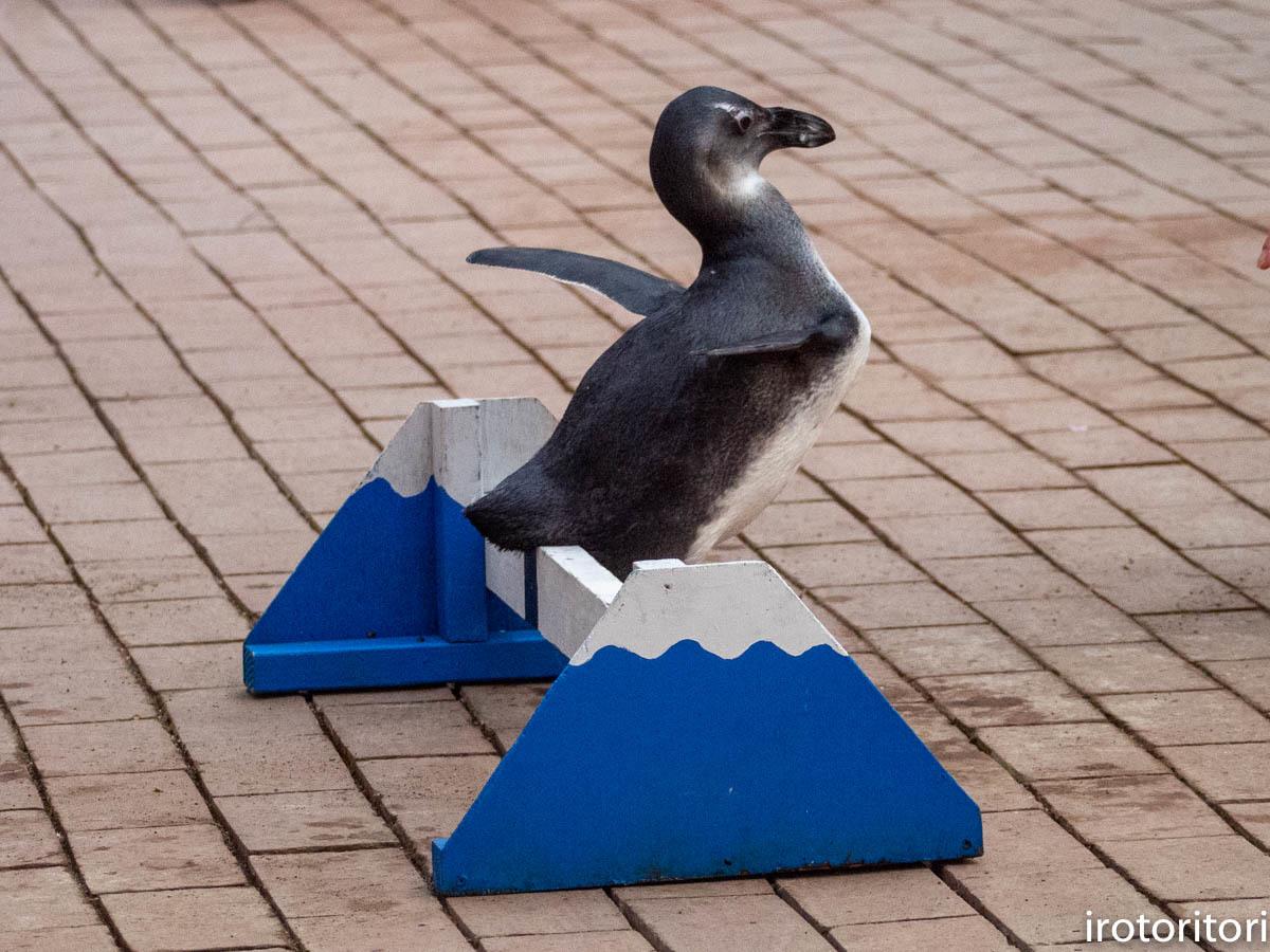 跳びます!!  (ケープペンギン)  2019/12/29_d0146592_00223514.jpg
