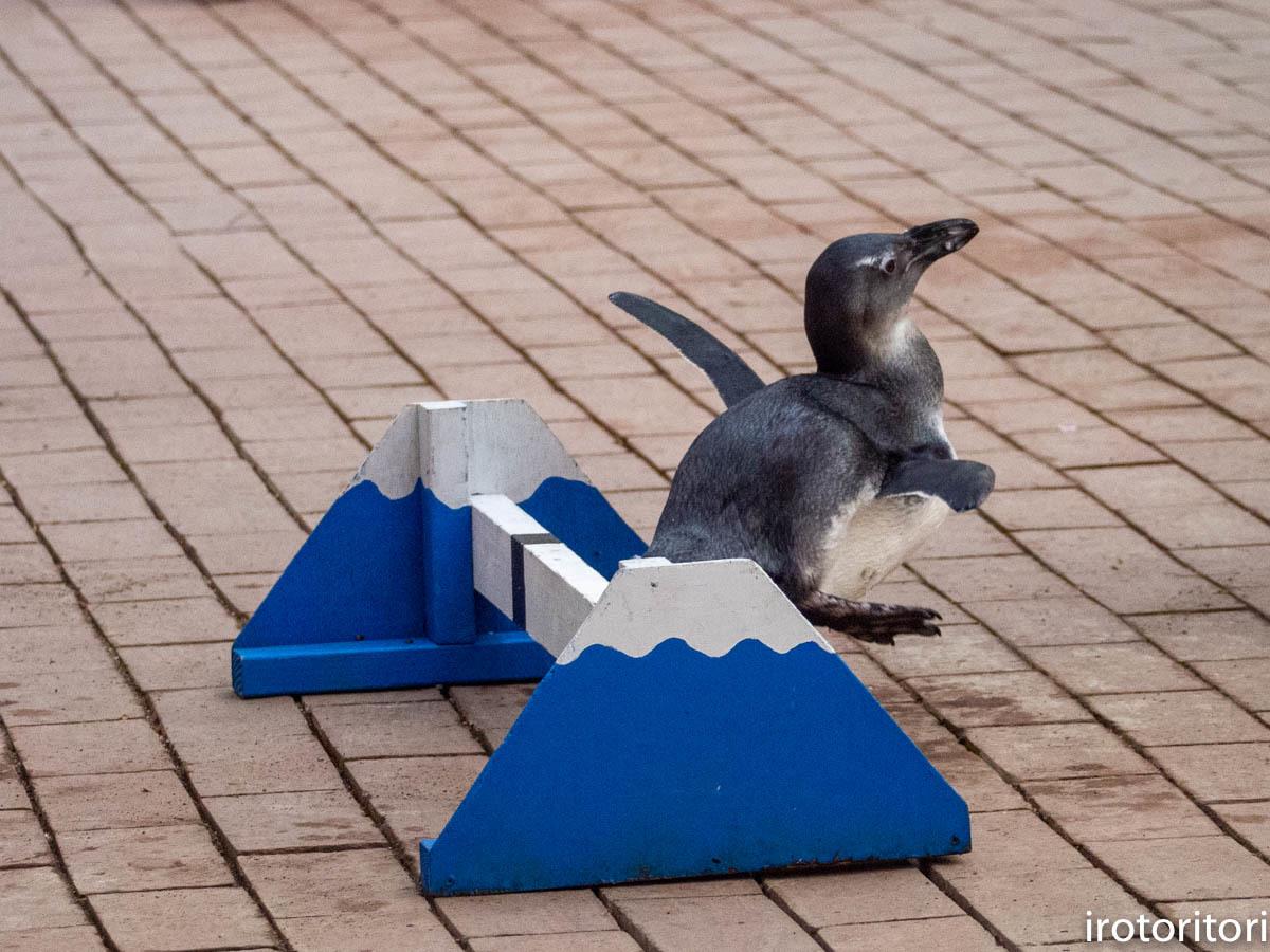 跳びます!!  (ケープペンギン)  2019/12/29_d0146592_00231414.jpg