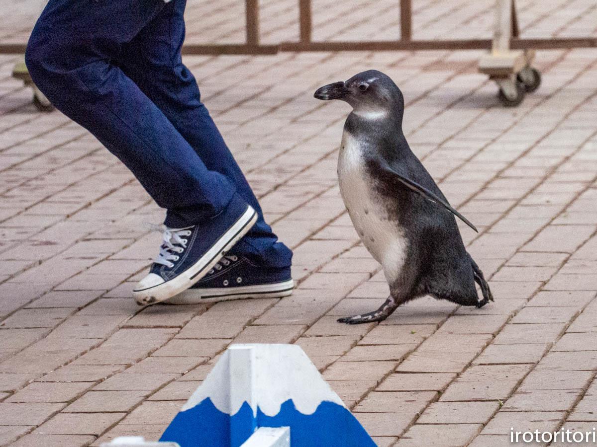 跳びます!!  (ケープペンギン)  2019/12/29_d0146592_00233591.jpg