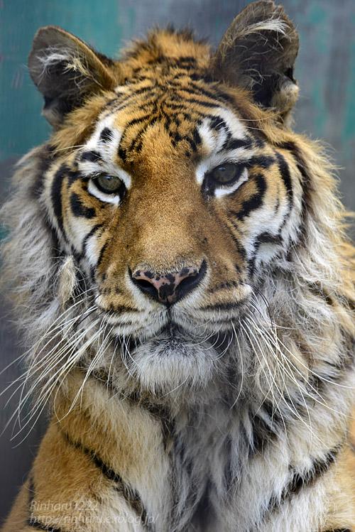 2019.7.13 東北サファリパーク☆トラのソニアちゃん【Tiger】_f0250322_1934889.jpg