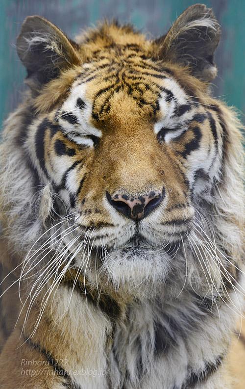 2019.7.13 東北サファリパーク☆トラのソニアちゃん【Tiger】_f0250322_1935422.jpg