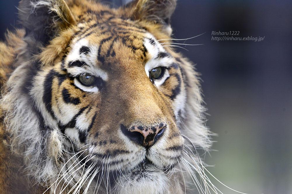 2019.7.13 東北サファリパーク☆トラのソニアちゃん【Tiger】_f0250322_194636.jpg