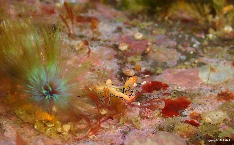 甲殻類とウミウシ_e0158261_15535720.jpeg