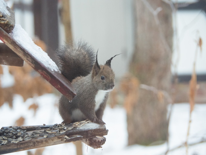 大晦日、季節外れの雨でエゾリス君の耳毛が凍ってる?_f0276498_17384716.jpg