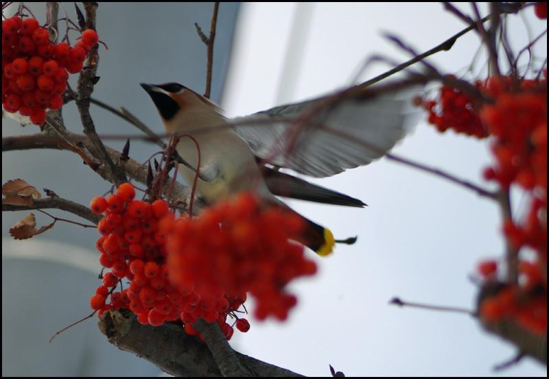 久しぶりの鳥(レンジャク)_b0019313_17194475.jpg