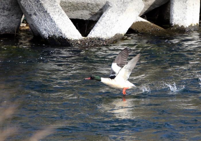 カワアイサの飛翔_f0239515_1810398.jpg
