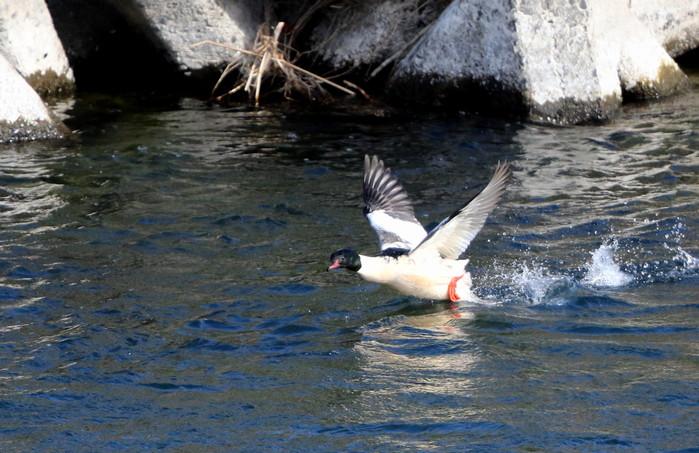 カワアイサの飛翔_f0239515_1891440.jpg