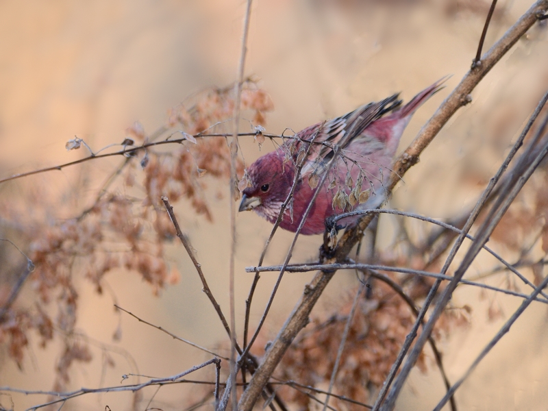 今年の初撮りはお山のオオマシコから(雄成鳥)_a0204089_817972.jpg