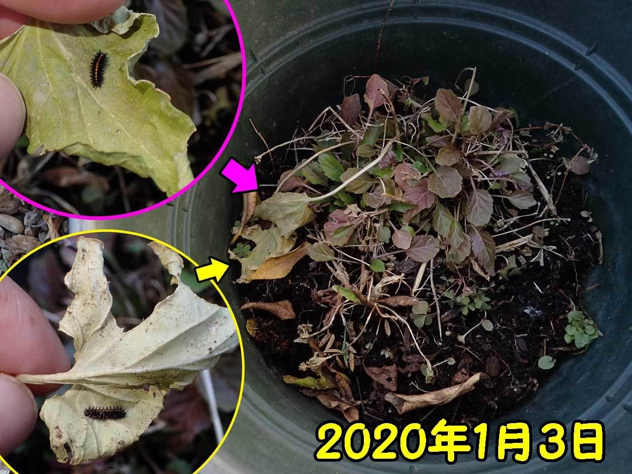 越冬中ツマグロヒョウモン幼虫_e0253104_16150415.jpg
